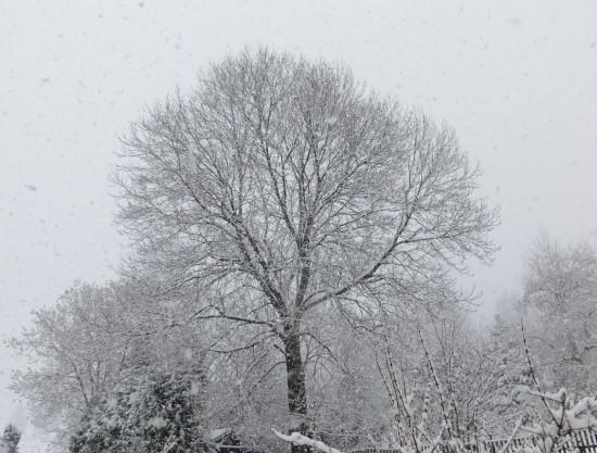 Ein mit Schnee bedeckter  Baum in Thalheim